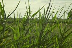 Sumpfige Vegetation bei Sonnenuntergang Lizenzfreie Stockbilder
