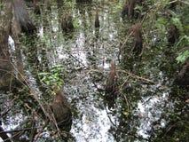 Sumpfiges Wasser mit Zypressenknien stockfotos