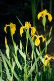 Sumpfiris (Iris pseudacorus) Stockbild