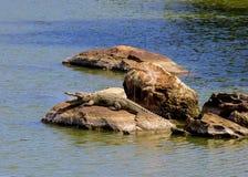 Sumpfkrokodil, das auf einem Felsen sich aalt Stockbilder