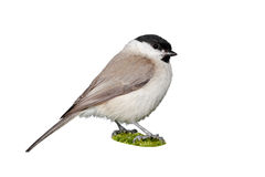 Sumpfmeisevogel lokalisiert stockbilder