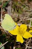 Sumpfringelblume und ein Schmetterling lizenzfreie stockbilder