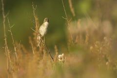 Sumpfrohrsänger Acrocephalus palustris, die Vogel singen Lizenzfreies Stockfoto