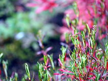 Sumpfrosmarin - Andromeda polifolia Lizenzfreies Stockfoto