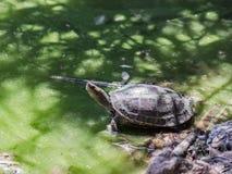 Sumpfschildkröte kroch aus Wasser und dem Aalen in der Sonne heraus Lizenzfreie Stockbilder