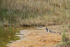Sumpfvögel stockfoto