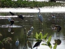 Sumpfvögel in den Sumpfgebieten lizenzfreie stockfotos