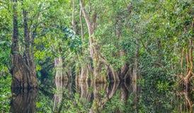 Sumpfwald mit den Bäumen, die im Wasser sich reflektieren stockfotos