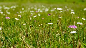 High moor meadow with spring flowers in fresh, tender green. royalty free stock photography