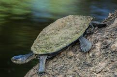 Sumpsköldpadda Royaltyfri Fotografi
