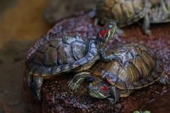Sumpsköldpadda för damm slider Fotografering för Bildbyråer