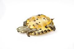 Sumpsköldpadda florida Royaltyfria Bilder