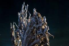Sumário da natureza: Raizes da madeira lançada à costa na luz do amanhecer Fotografia de Stock Royalty Free