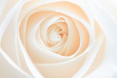 Sumário de Rosa Fotografia de Stock