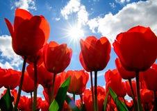 Sun a ?clat? sur des tulipes avec un ciel bleu photographie stock