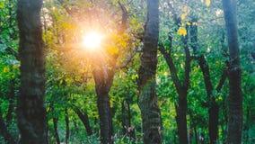The Sun μέσω των δέντρων στο δάσος στοκ εικόνα με δικαίωμα ελεύθερης χρήσης