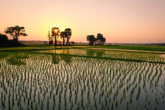 Sun установил на поле риса Стоковая Фотография