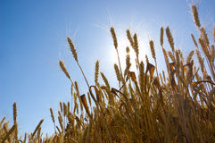 Sun above a corn field Royalty Free Stock Photography