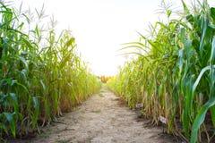 Sun ajustou-se sobre o campo de milho com maneira da caminhada do solo no meio da imagem fotos de stock