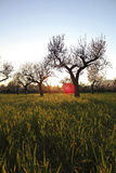 Sun amongst almond Stock Photography