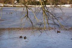 Sun, anatre e la Francia acqua ghiacciata Fotografie Stock Libere da Diritti