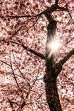 Sun Angel Coming através de Cherry Tree de florescência fotos de stock