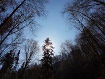 Sun atrás das árvores Imagem de Stock