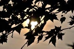 Sun atrás das folhas Imagens de Stock Royalty Free