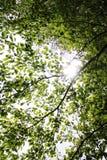 Sun atrás das folhas na coroa da árvore Imagens de Stock