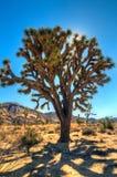 Sun atrás de Joshua Tree (brevifolia da mandioca) Imagens de Stock