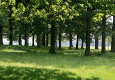 Sun através das árvores de carvalho Foto de Stock Royalty Free