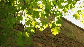 Sun através das folhas e da árvore que crescem da parede de pedra video estoque