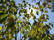 Sun através das folhas transparentes Fotografia de Stock Royalty Free