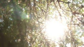 Sun através dos leаfs Fotografia de Stock
