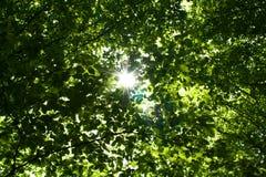 Sun através dos ramos Fotografia de Stock