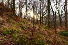 Sun attraverso gli alberi in foresta Immagine Stock Libera da Diritti