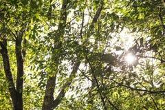 Sun attraverso i rami Fotografia Stock