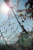 Sun attraverso il ramo coperto di ghiaccio sul fondo del cielo blu Immagine Stock Libera da Diritti