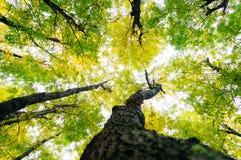 Sun attraverso le cime d'albero Immagini Stock Libere da Diritti