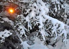 Sun attraverso le filiali della neve di abete Fotografie Stock Libere da Diritti
