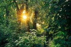 Sun au coucher du soleil parmi les arbres verts luxuriants grands Image stock