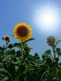 Sun au-dessus des tournesols Photographie stock libre de droits