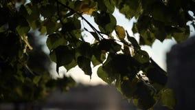 Sun au lever de soleil ou au coucher du soleil par l'arbre pousse des feuilles clips vidéos