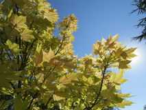 Sun auf japanischem Ahornbaum Lizenzfreie Stockfotos