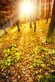 Sun in the autumn forest Royalty Free Stock Image