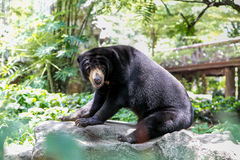 Sun-Bär, der etwas schaut Stockbilder