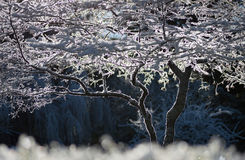 Sun backlighting a tree covered in frost Stock Photos