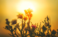 Sun Backlit Flower in Sunset Atmosphere Stock Images