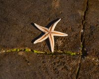 Sun baking star fish stock photos