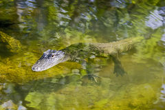 Sun basking alligator Stock Image